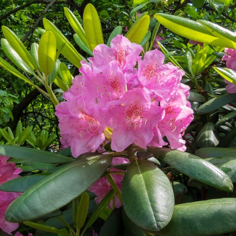 La inflorescencia del rododendro, rosada Jardín botánico, foto de archivo