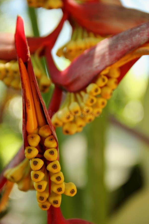 La inflorescencia hermosa del collinsiana de Heliconia fotos de archivo libres de regalías