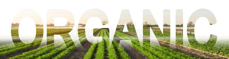 La inscripción orgánica en el fondo de un campo de la plantación de la zanahoria Producto respetuoso del medio ambiente y seguro  fotografía de archivo
