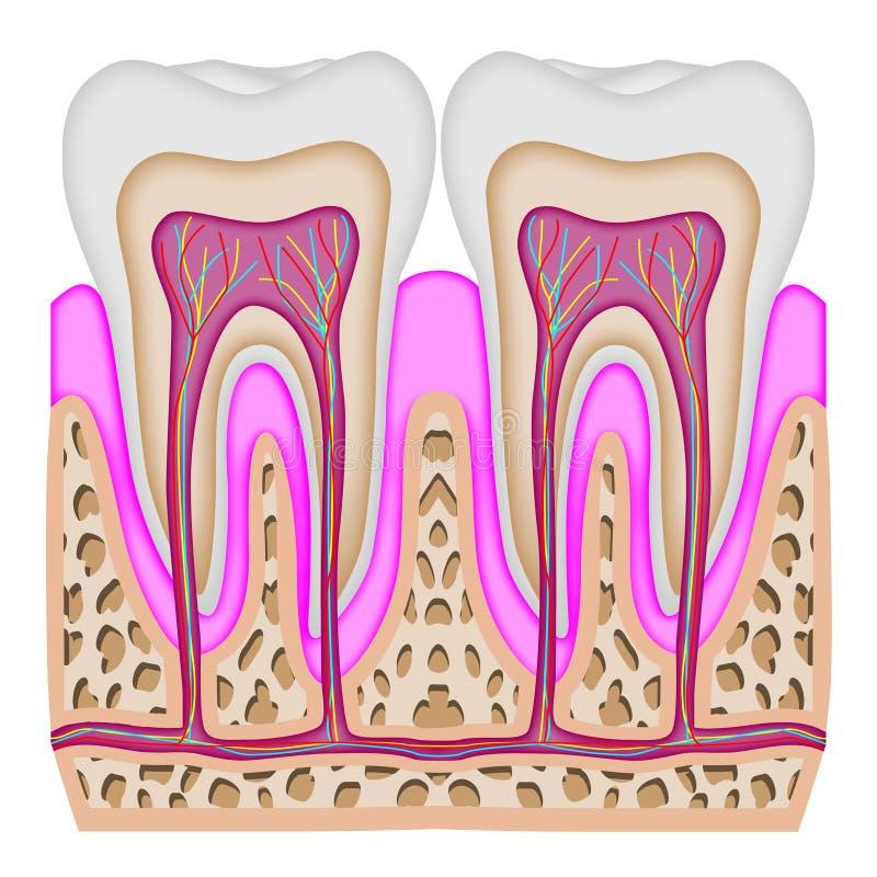 La intersección del diente ilustración del vector