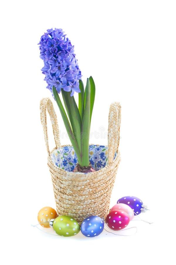 La jacinthe bleue fleurit dans le panier avec des oeufs de pâques photo stock
