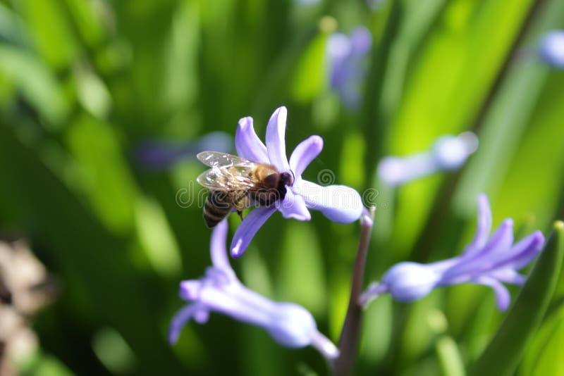 La jacinthe a visité par une abeille photo libre de droits