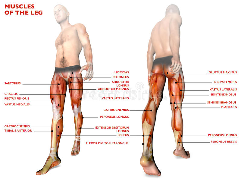 La jambe muscles, corps humain, anatomie, système musculaire, personne d'anatomie illustration stock