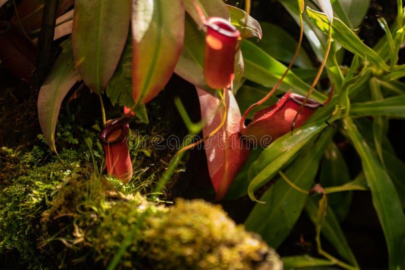 La jarra espectacular y original pertenece al género Nepenthes de Nepentes, es un depredador de la flor fotos de archivo