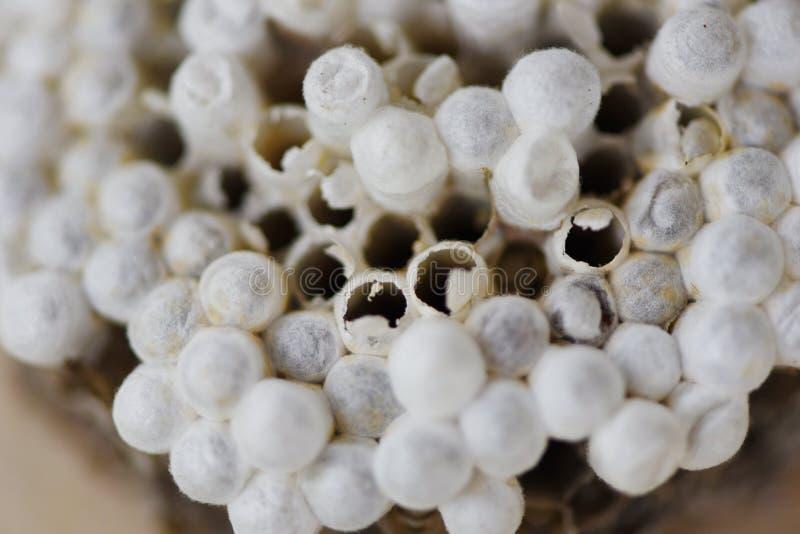 La jerarquía de la avispa o la jerarquía del avispón con la larva en fondo de madera, se cierra encima - de insectos salvajes imagen de archivo libre de regalías
