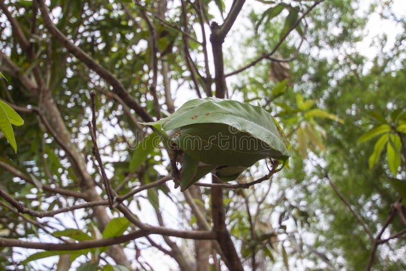 La jerarquía de la hormiga roja en árbol de mango fotos de archivo libres de regalías