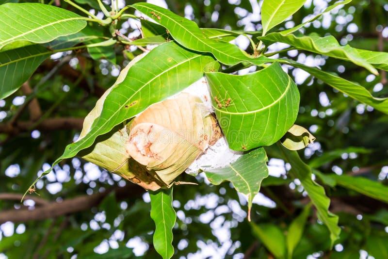 La jerarquía de las hormigas hecha uniéndose a juntas las hojas verdes de un árbol foto de archivo