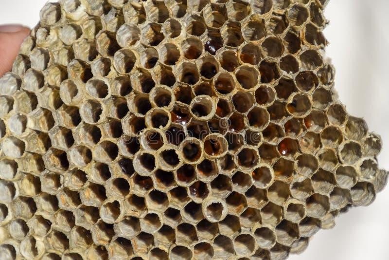 La jerarquía es álamo temblón, polist la jerarquía del álamo temblón en el final de la estación de la cría Acción de la miel en p imagen de archivo libre de regalías