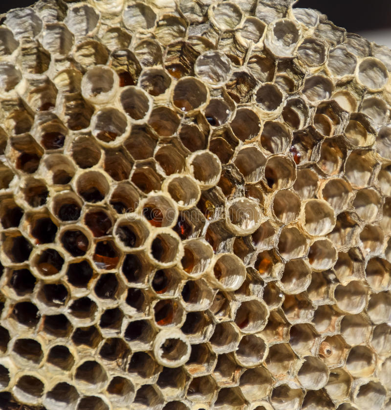 La jerarquía es álamo temblón, polist la jerarquía del álamo temblón en el final de la estación de la cría Acción de la miel en p fotografía de archivo libre de regalías