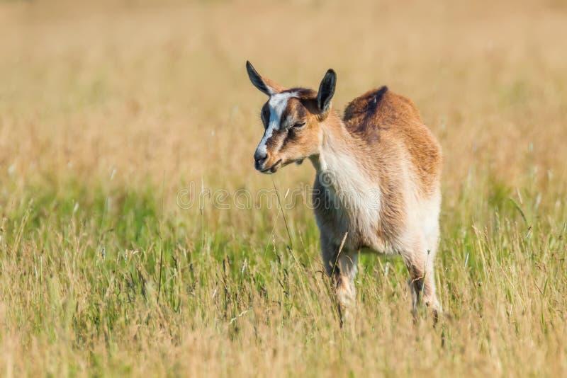 La jeune chèvre frôle dans un pré, enfant de chèvre photos stock