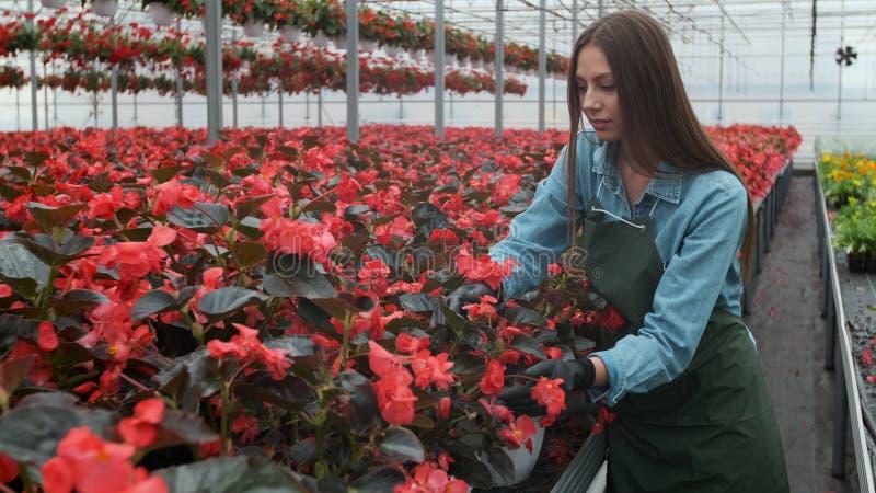 La jeune femme en serre chaude avec des fleurs v?rifie un pot de poinsettia rouge sur l'?tag?re image libre de droits
