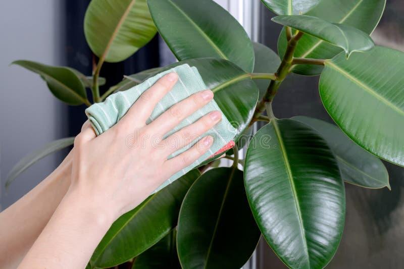 La jeune femme essuie la poussière des feuilles vertes du microfiber de ficus Soin des usines d'intérieur photos libres de droits