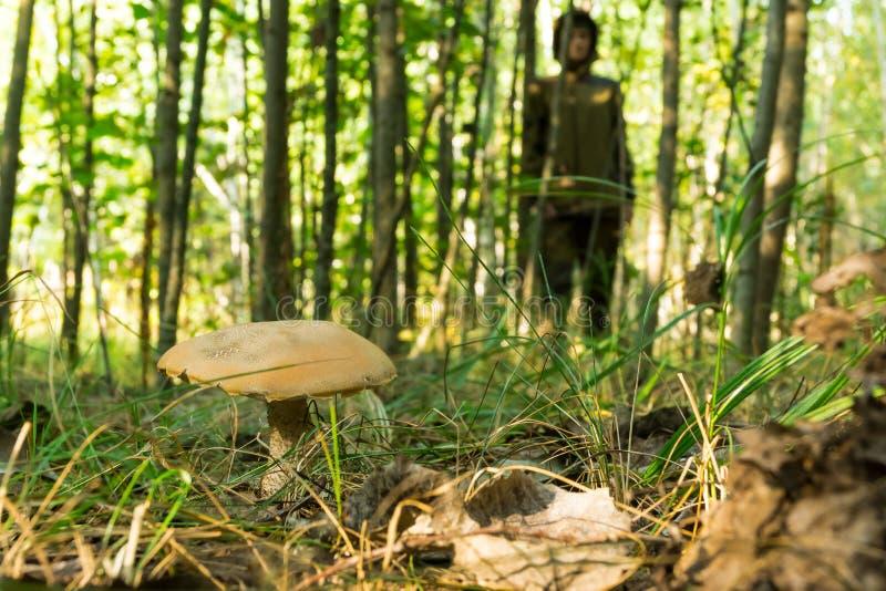 La jeune femme recueille des champignons le matin ensoleillé chaud de forêt images stock