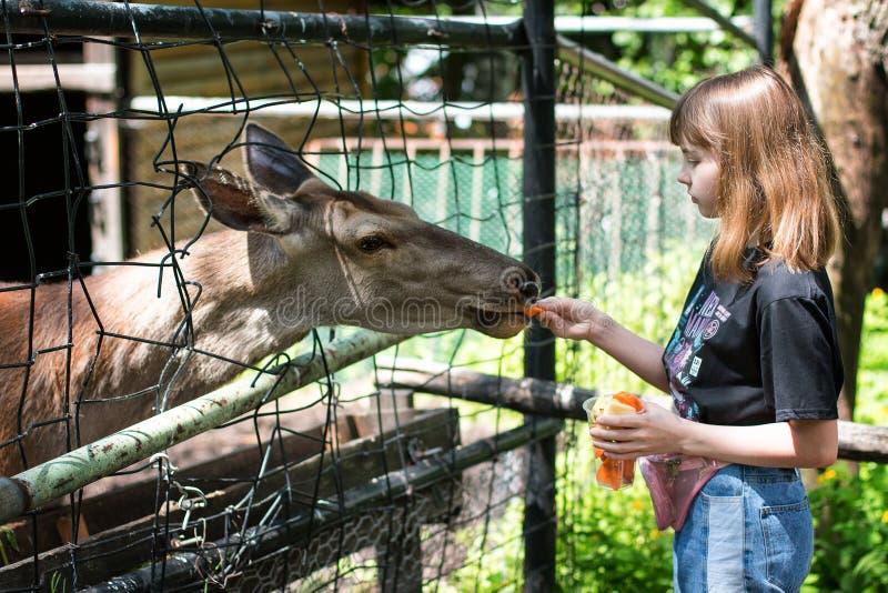 La jeune fille nourrit un cerf dans un zoo pendant la journée d'été image libre de droits
