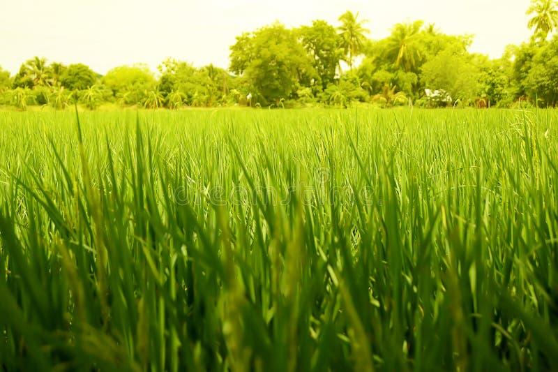 La jeune oreille du riz dans la rizière avec le fond naturel bleu photo libre de droits