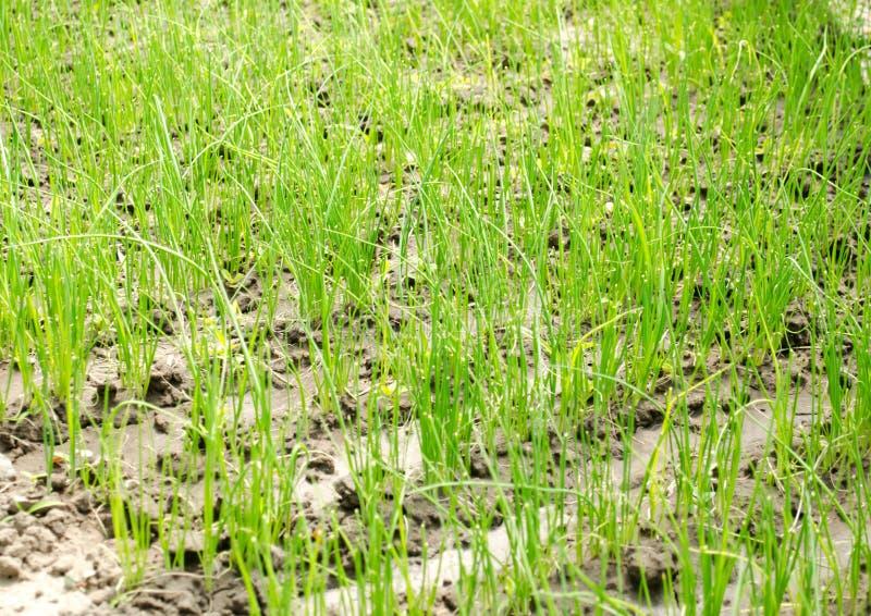 La jeune plante de poireau se d?veloppe en serre chaude L?gumes organiques croissants affermage Agriculture Graines Plan rapproch images libres de droits