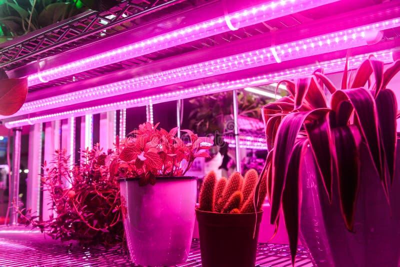 La jeune plante se développent avec la lumière menée d'usine en serre chaude de ferme images stock