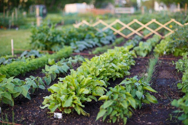 La jeune plante vegatable verte se développe sur un lit de jardin image libre de droits