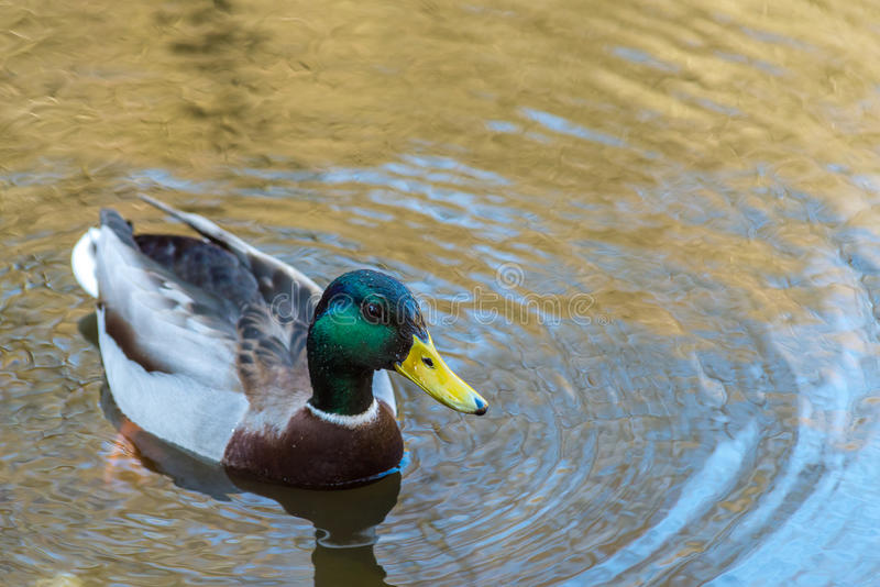 La jeunes natation et boisson gentilles de canard de Mallard arrosent, premier ressort images libres de droits