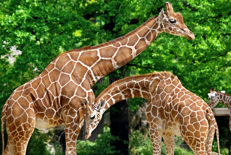 La jirafa fotografía de archivo
