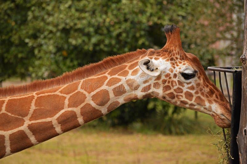 La jirafa agarrando heno del zoológico fotos de archivo libres de regalías