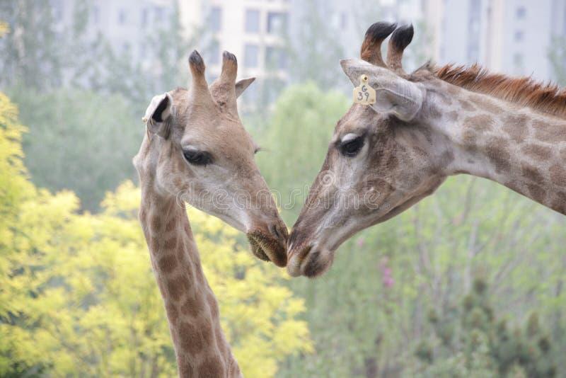 La jirafa de la madre está besando a su bebé imagenes de archivo
