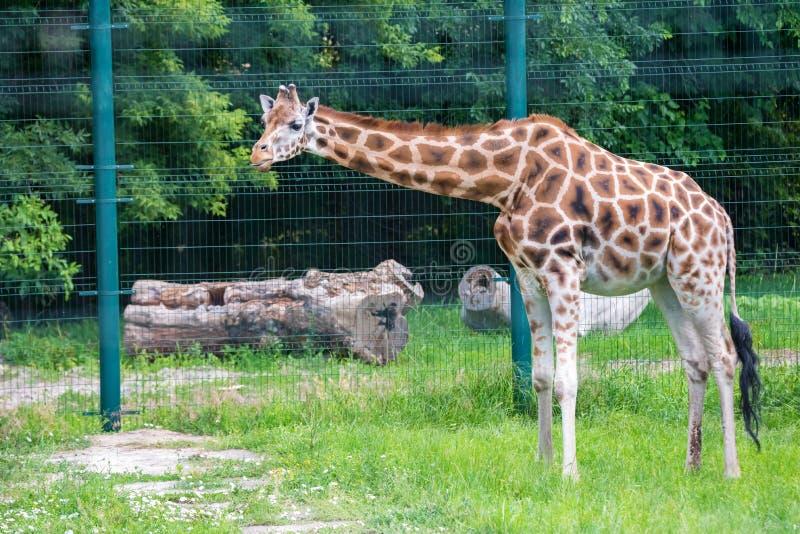 La jirafa de Rothschild o rothschildi de los camelopardalis del Giraffa camina en cautiverio imagen de archivo libre de regalías