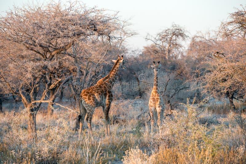 La jirafa namibiana divertida joven curiosamente está mirando en cámara fotografía de archivo libre de regalías