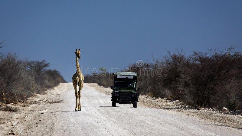 La jirafa resuelve Land rover en el camino africano de la grava imágenes de archivo libres de regalías