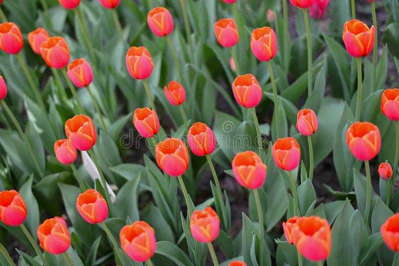 La jolie couleur des tulipes de p?che commen?ant ? s'ouvrir sous la chaleur du soleil de printemps images libres de droits
