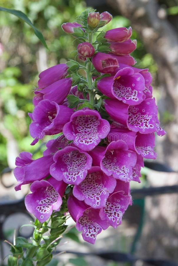 La jolie digitale pourpre dans des étés font du jardinage photos stock
