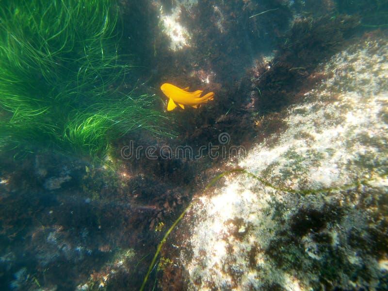 Download La Jolla Garibaldi stock photo. Image of marine, nature - 15199928