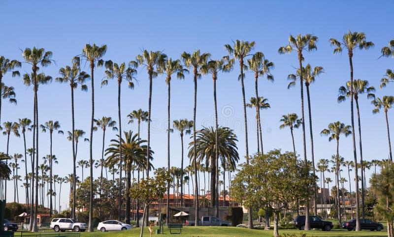 la jolla palmowi wysokie drzewa fotografia stock