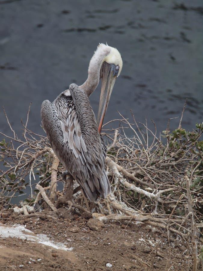 La Jolla Pelican. Nature area at La Jolla beach Pelican royalty free stock image