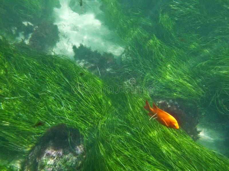 La Jolla subacquea immagine stock
