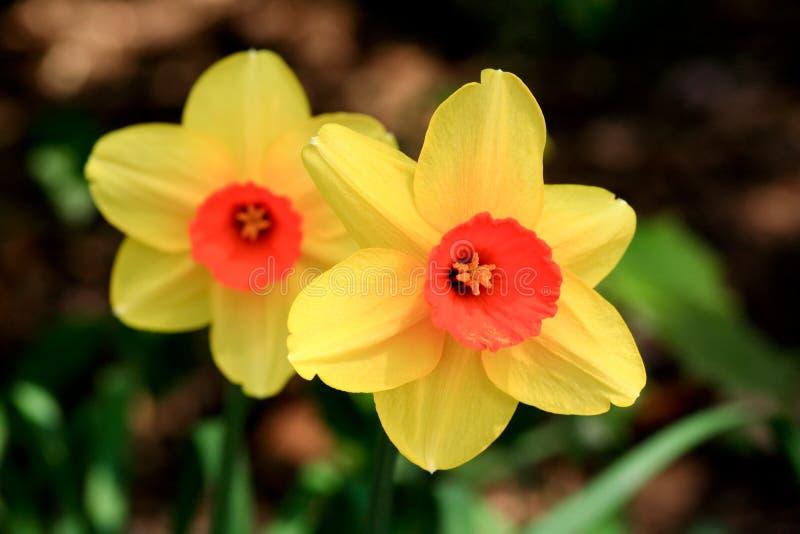 La jonquille fleurissant au printemps photographie stock