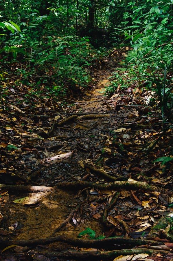 La jungle traîne après labyrinthe de indication de pluie des racines d'arbre dans la forêt tropicale tropicale de Sabbah, Bornéo  photos stock