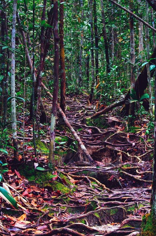 La jungle traîne après labyrinthe de indication de pluie des racines d'arbre dans la forêt tropicale tropicale de Sabbah, Bornéo  photo libre de droits