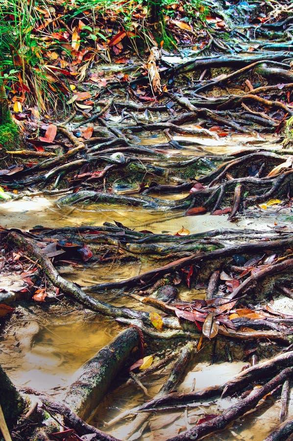 La jungle traîne après labyrinthe de indication de pluie des racines d'arbre dans la forêt tropicale tropicale de Sabbah, Bornéo  photographie stock libre de droits