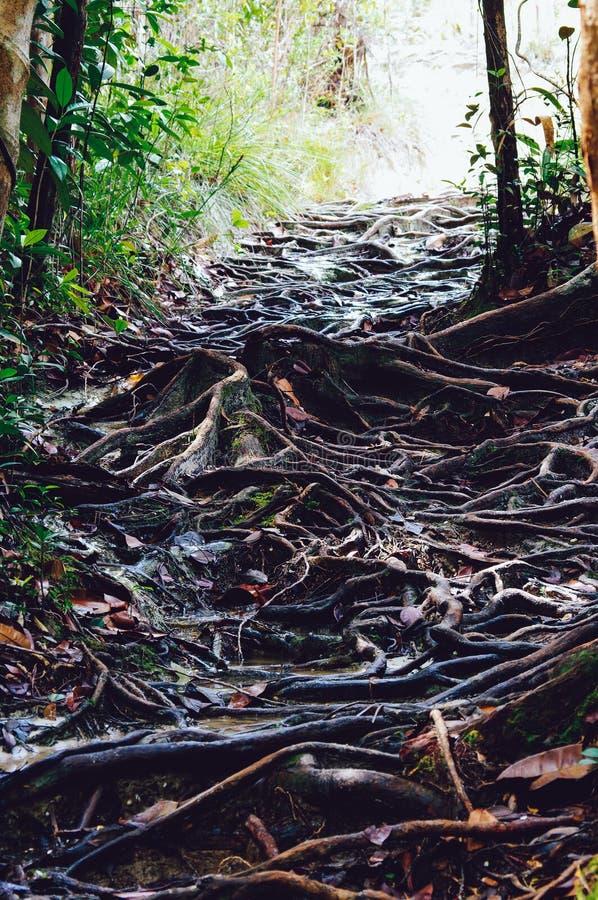 La jungle traîne après labyrinthe de indication de pluie des racines d'arbre dans la forêt tropicale tropicale de Sabbah, Bornéo  images stock