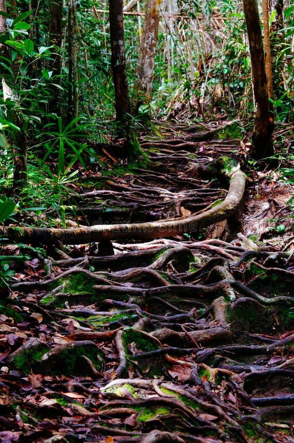 La jungle traîne après labyrinthe de indication de pluie des racines d'arbre dans la forêt tropicale tropicale de Sabbah, Bornéo  image stock