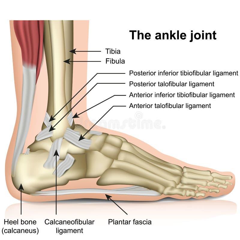 La junta de tobillo, tendones del ejemplo del vector de la anatom?a del pie de la junta de tobillo stock de ilustración