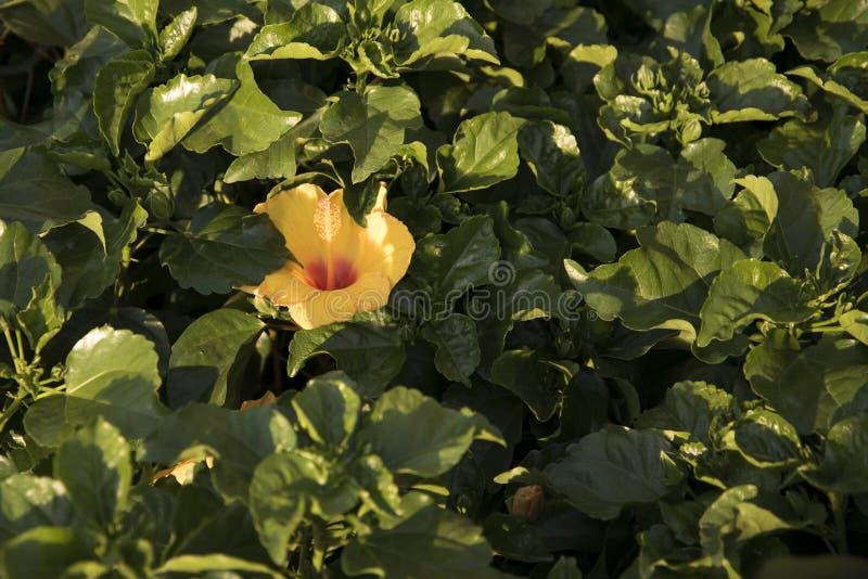 La ketmie hawaïenne fleurit prêt pour la vente image stock