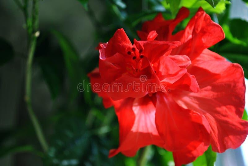 La ketmie rosa-sinensis, ketmie chinoise, Chine s'est levée, ketmie hawaïenne, s'est levée mauve, fleur rouge shoeblackplant, feu photo stock