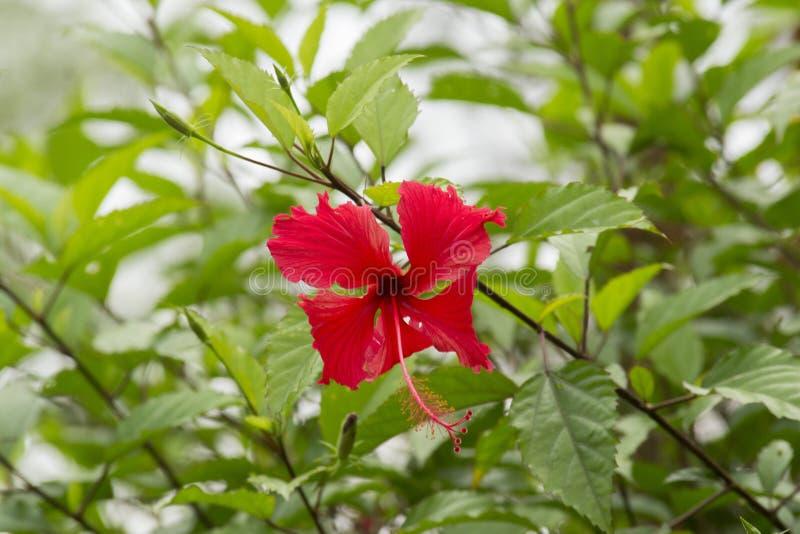 La ketmie rosa-sinensis, connu famili?rement en tant que ketmie chinoise, la Chine s'est lev?e, ketmie hawa?enne, mauve et shoebl image libre de droits