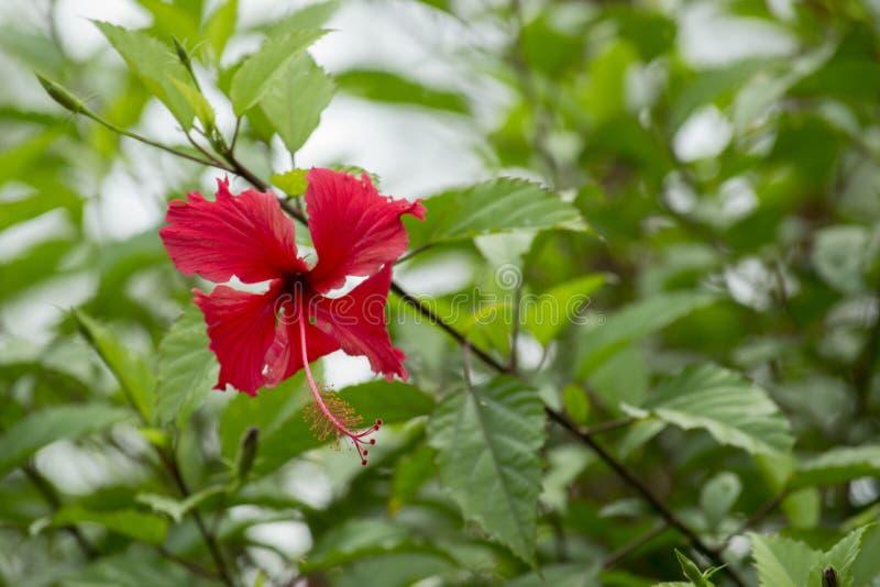 La ketmie rosa-sinensis, connu famili?rement en tant que ketmie chinoise, la Chine s'est lev?e, ketmie hawa?enne, mauve et shoebl photographie stock