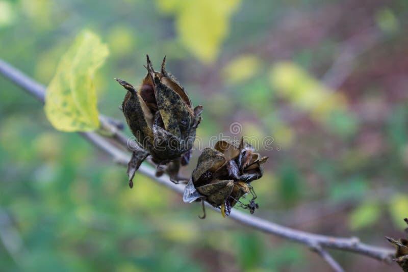 La ketmie sème l'émergence des cosses de graine avec des insectes de louisianica de Niesthrea image libre de droits