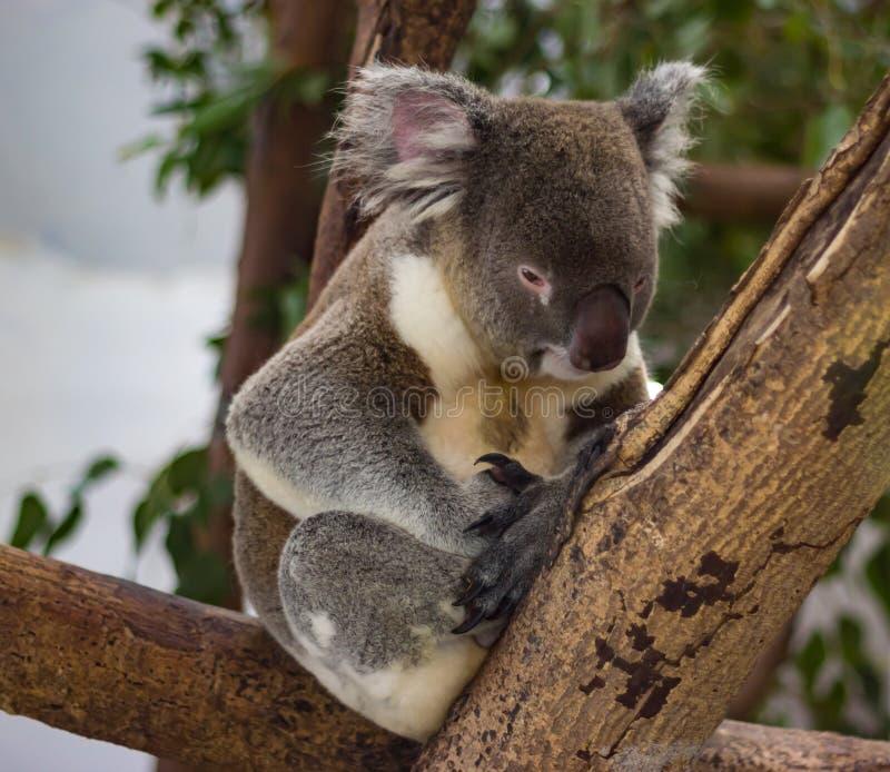 La koala che bighellona, aspetta per fare un sonnellino immagini stock libere da diritti