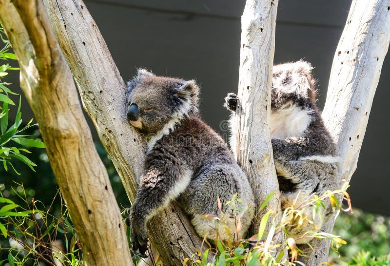 La koala refiere un árbol en Melbourne foto de archivo libre de regalías