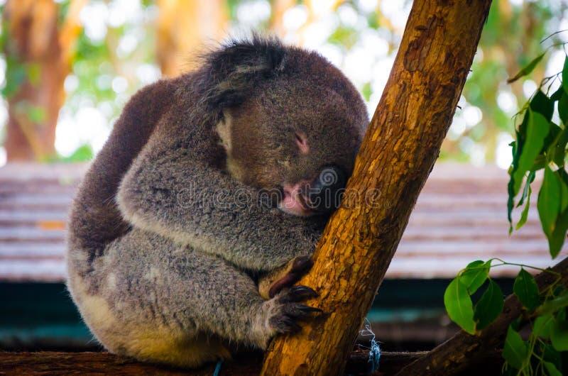 La koala sveglia che ha fantastica su un albero fotografia stock libera da diritti